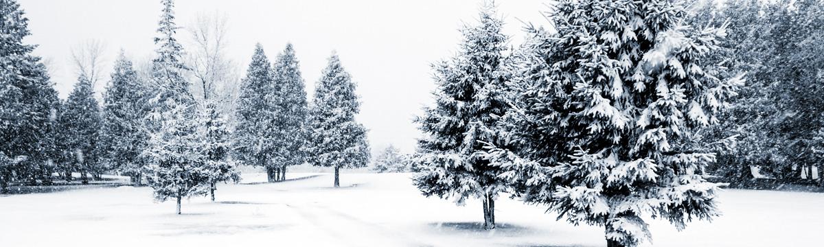 Canadian fir trees